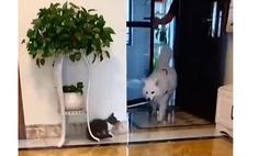 храбрый котенок подкарауливает собаку напугать видео