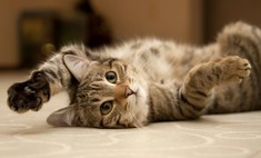 Борьба с кошачьей шерстью