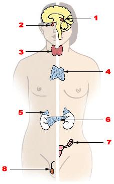 Нормы гормонов у женщин