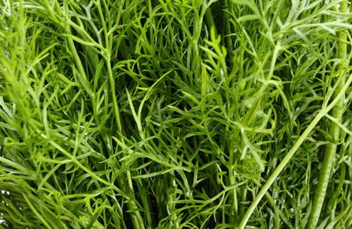 пряные травы, зелень, шалфей, портулак, кервель, фенхель, анис, рецепты, пряности, свежая зелень