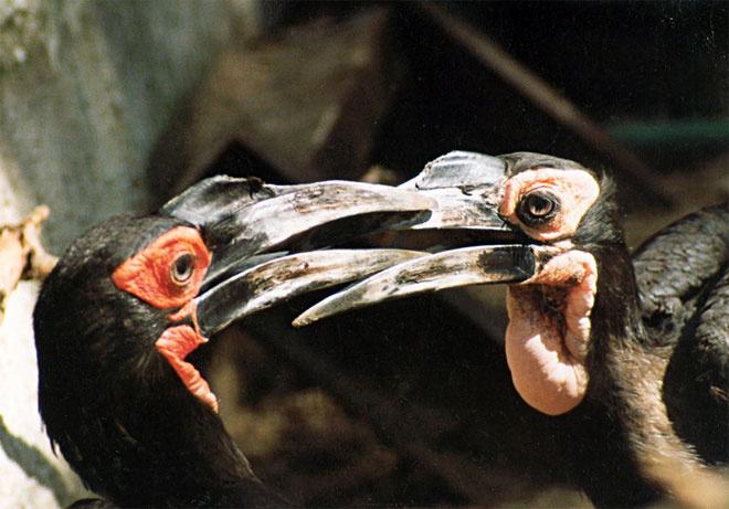 Кафрский рогатый ворон, московский зоопарк