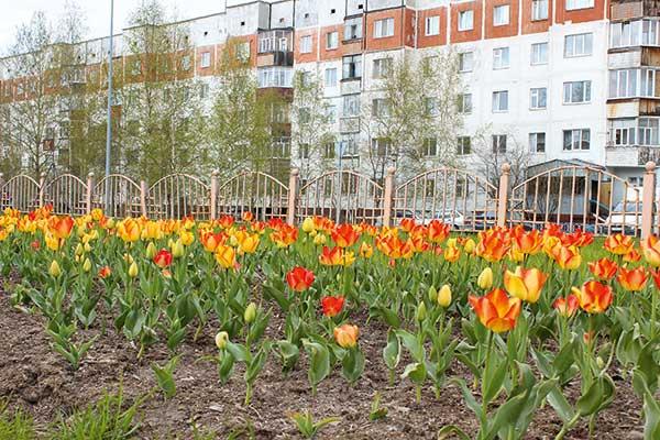 Тюльпаны в Сургуте
