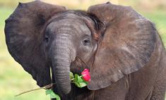 Милота дня: маленький слоненок подарил маме розу