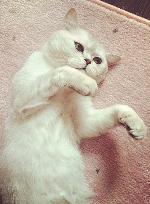 Кот бородиной ксении порода
