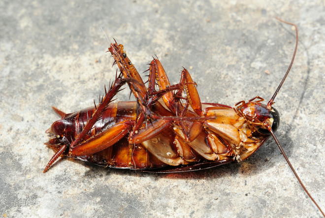 тараканы борная кислота яйцо