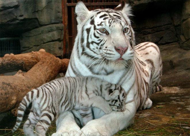 Белый бенгальский тигр, московский зоопарк