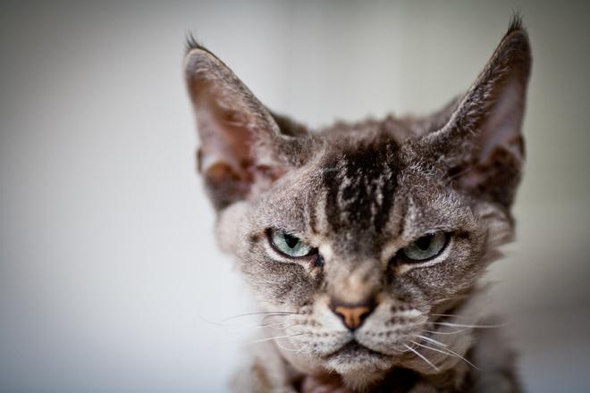 опасные кошки