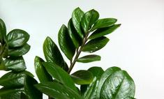 Цветок замиокулькас: особенности ухода