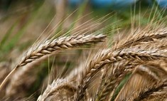 Белоруссия выразила готовность продавать зерно России