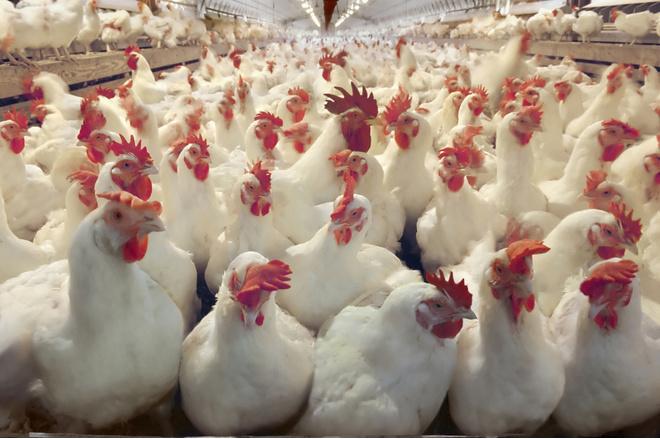 Куриные вши как избавиться
