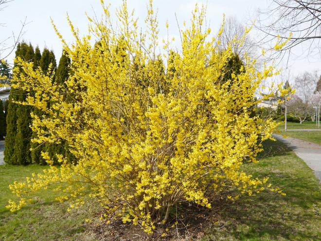 Кустарник с жёлтыми цветами