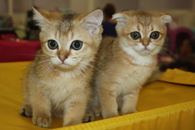Кошки редких пород, фото