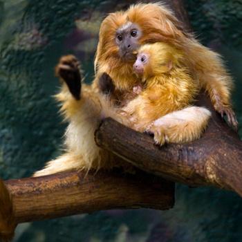 Редкий кадр детеныша золотистого львиного тамарина в спокойствии. Обычно этот маленький непоседа поднимает на уши не только родителей, но и всех соседей по зоопарку, который находится в Атланте.