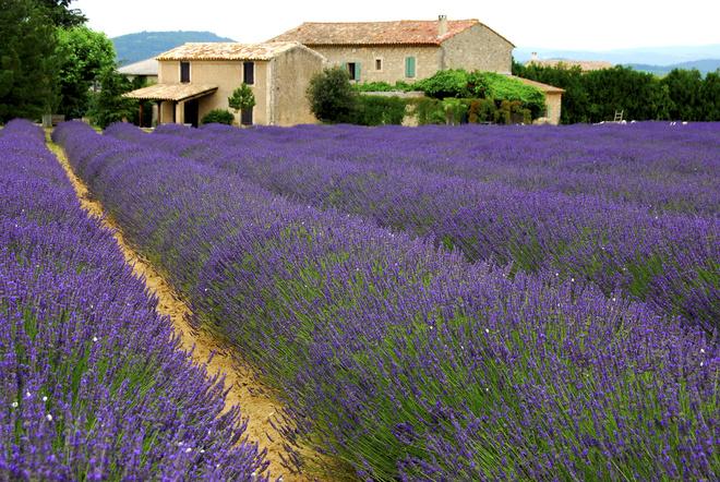 Лавандовое поле Прованс Франция, фото