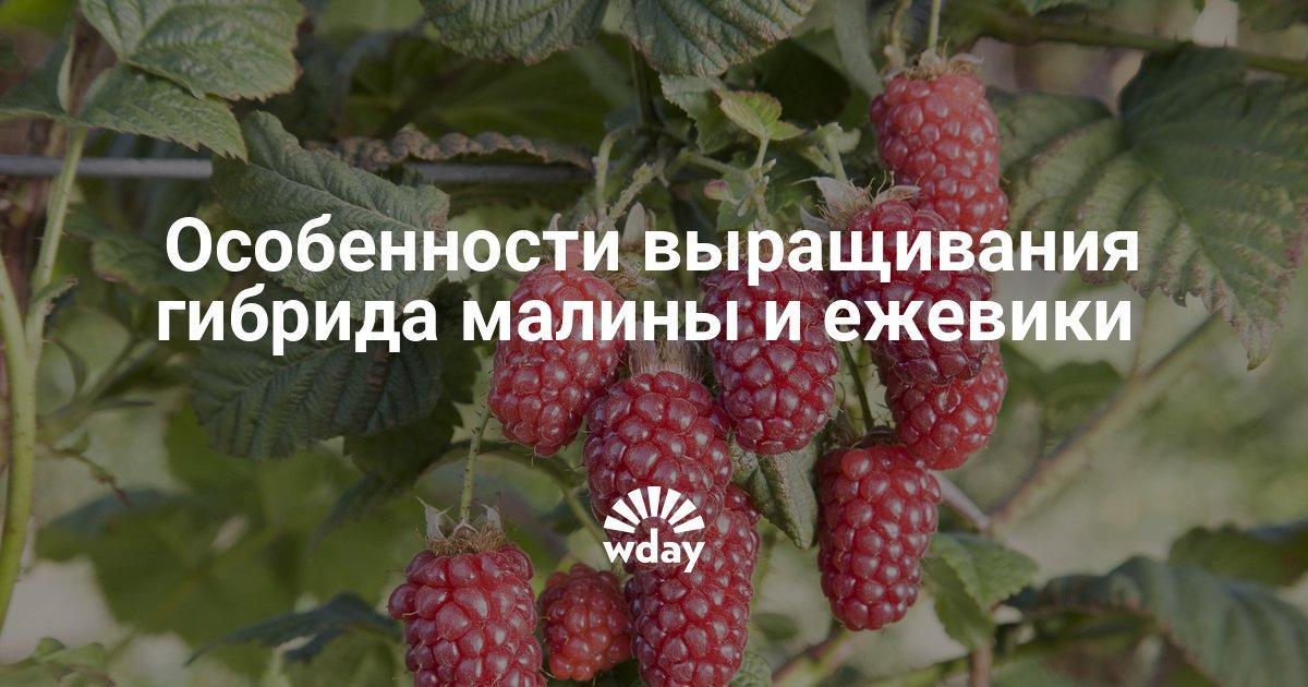 Ежемалина выращивание 49