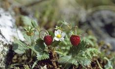 Советы: как сохранить ягоды земляники на зиму?