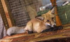 Новосибирцы придумали имя спасенной лисичке, и это не Алиса!