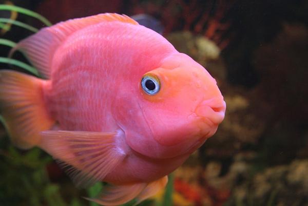Разведения рыбы попугая