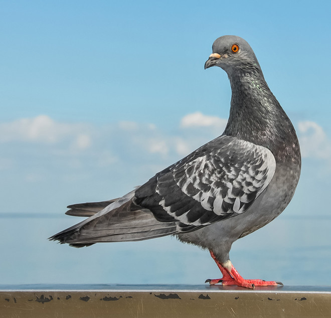 голуби на крыше балкона как избавиться