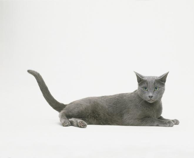порода кошек русская голубая