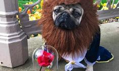 Милота дня: мопсы в пародии на «Красавицу и Чудовище»