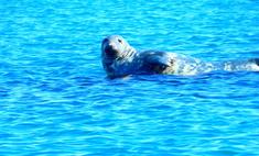 Польза и способы употребления тюленьего жира в медицине
