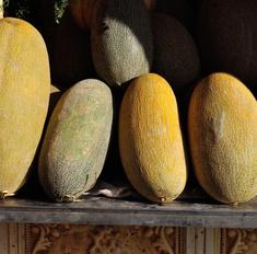 Сорт дыни Торпеда: описание, выращивание