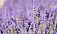 Как правильно посадить цветы лаванды и ухаживать за ними?