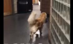 милый полицейский пес сша попался краже видео