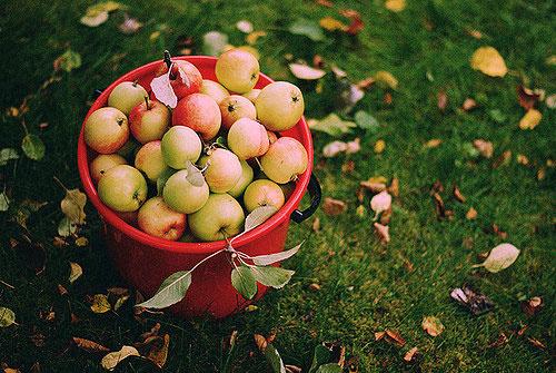 снимите последний урожай зимних сортов яблок