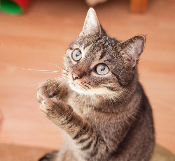 Перхоть у кошек