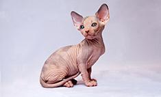 Кошки: какие породы популярны у владимирцев