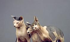 Особенности внешности и характера кошек породы Сфинкс