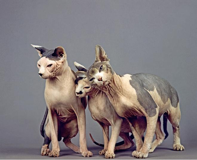 У кошек породы Сфинкс нет шерсти