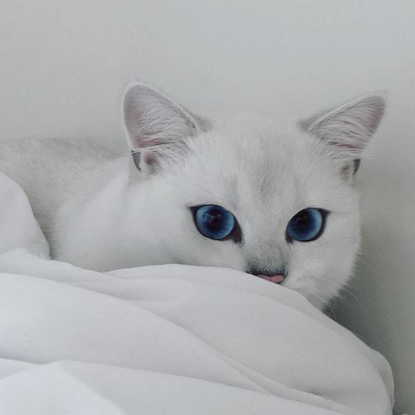 Новая звезда Инстаграм: кот с голубыми глазами Коби фото