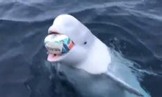 Белуха играет с мячом для регби (видео)
