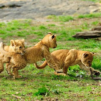 Когда эти три детеныша африканского льва появились на свет в конце января, каждый из них весил около 5 кг. Сейчас львята весят по сотне! Они очень энергичны и прожорливы, любят дразнить отца, теребя его за хвост и гриву, - да так, что маме приходится порой сдерживать пятнистую ораву.