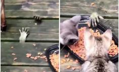 Таинственные лапки высовываются из-под пола и воруют еду у котят (видео)