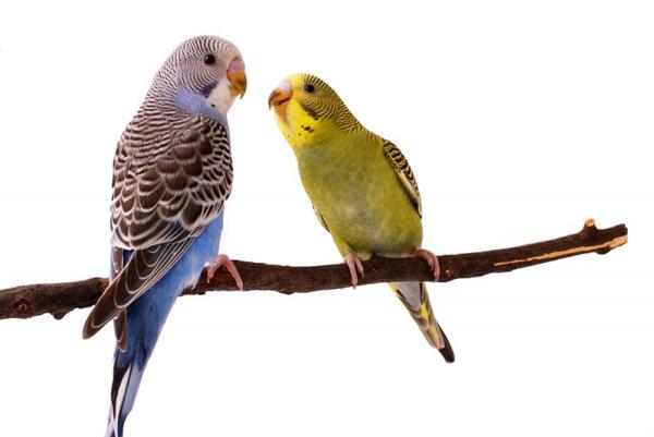 Выбрать попугая