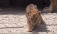 Новосибирская лигрица Зита стала мамой в третий раз: видео!