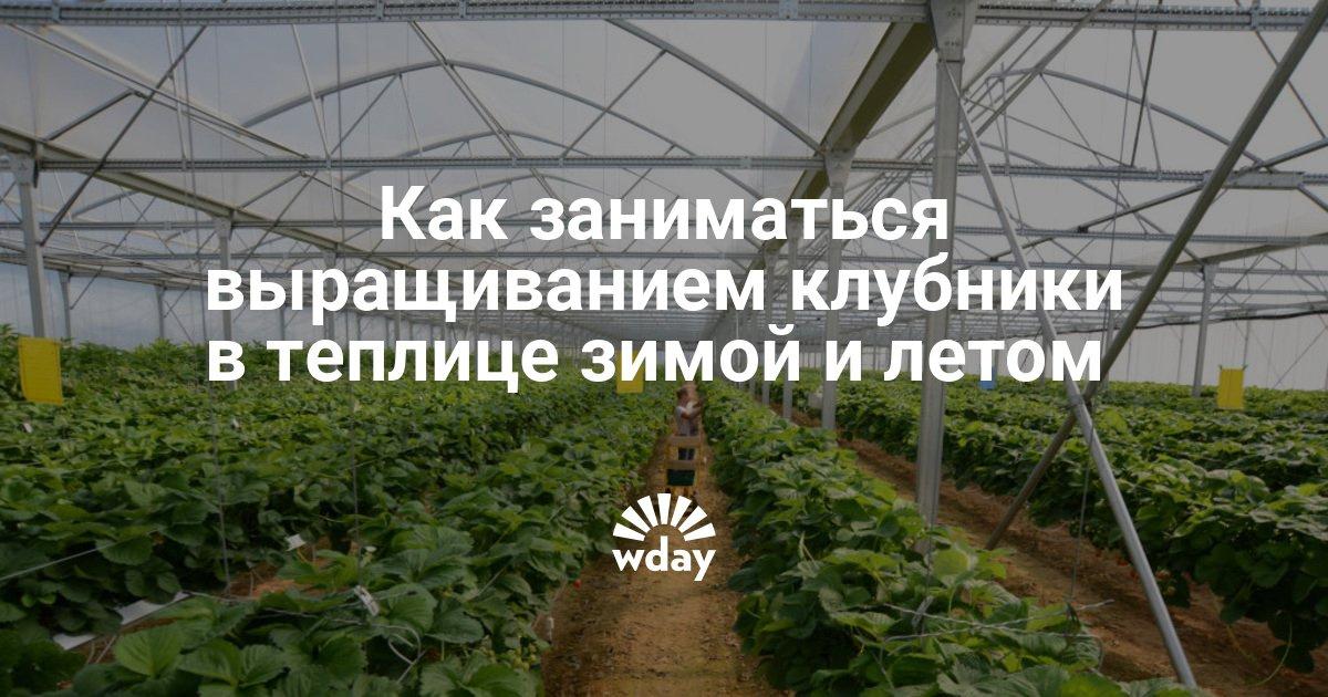 Выращивание черники в теплице круглый год 70