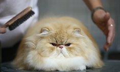 В Кемерово пройдет международная выставка кошек