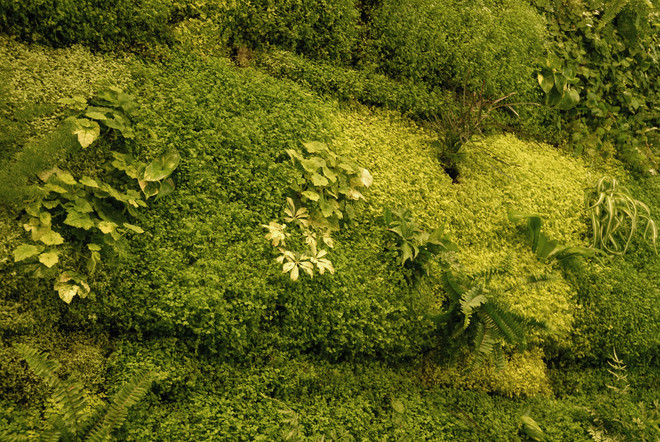 Солейролия имеет множество мелких листочков