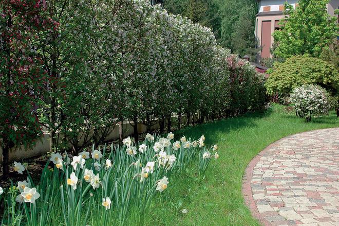 Вдоль ограды изгородь из декоративных яблонь.