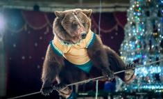 «Медведи-канатоходцы» в Красноярске: номер придумал сам медвежонок!