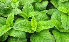 Мелисса лимонная: выращивание, полезные свойства, применение