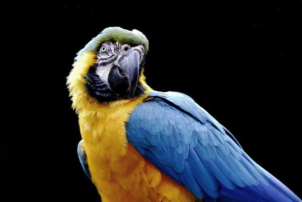 Содержание попугаев ара