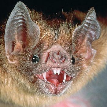 Мыши-вампиры иногда могут «присосаться» и к спящему человеку, укусив его в голову или впившись в палец на ноге.