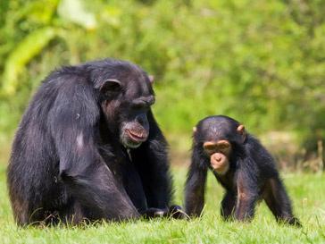 жизнь шимпанзе