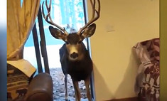 Семья из Колорадо накрыла дома праздничный стол для диких оленей (видео)